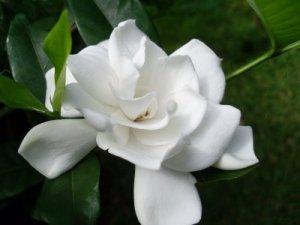 Bunga-Melati